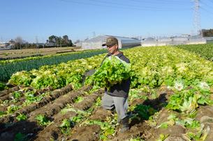伝統野菜花芯山東菜を収穫する男性の写真素材 [FYI01557863]
