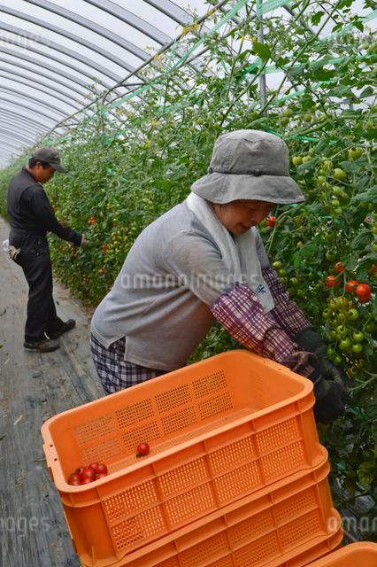 ミニトマトの収穫の写真素材 [FYI01558076]