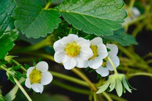 ビニールハウスのイチゴの花の写真素材 [FYI01558110]
