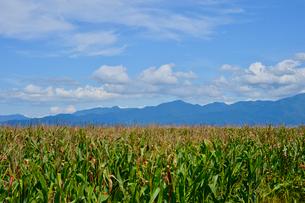 家畜用トウモロコシ畑の写真素材 [FYI01558195]