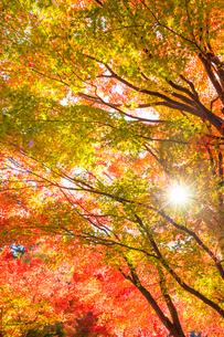 紅葉と太陽の写真素材 [FYI01558238]