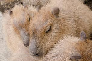 市川市動植物園のカピバラの写真素材 [FYI01558274]
