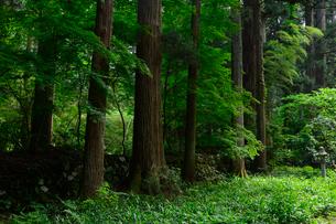 北陸の苔寺と呼ばれる平泉寺白山神社の写真素材 [FYI01558287]