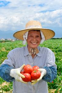 加工用トマトの収穫の写真素材 [FYI01558317]