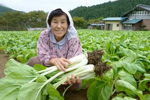 埼玉県伝統野菜シャクシナ畑と農婦の写真素材 [FYI01558369]