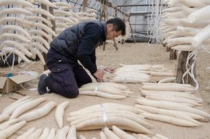 江戸野菜 東光寺大根を束ねて出荷準備をするの写真素材 [FYI01558435]