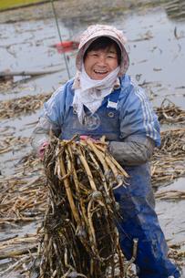 伝統野菜クワイの収穫の写真素材 [FYI01558455]