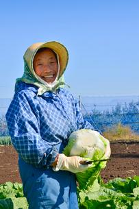 白菜の収穫の写真素材 [FYI01558477]