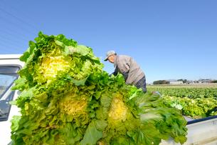伝統野菜花芯山東菜を収穫する男性の写真素材 [FYI01558505]