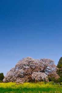 印西市指定天然記念物吉高の大ヤマザクラの写真素材 [FYI01558529]