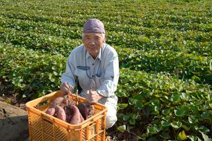 埼玉県伝統野菜の紅赤サツマイモ畑と農夫の写真素材 [FYI01558562]