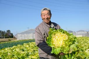 伝統野菜花芯山東菜を収穫する男性の写真素材 [FYI01558578]