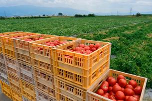 加工用トマトの収穫の写真素材 [FYI01558633]