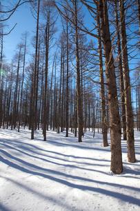 蓼科高原 雪の樹林帯の写真素材 [FYI01558747]