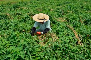 加工用トマトの収穫の写真素材 [FYI01558795]