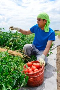 加工用トマトの収穫の写真素材 [FYI01558881]