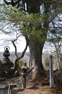 鎌倉建長寺を本山とする吉祥寺にある天然記念物「姫小松」の写真素材 [FYI01558885]