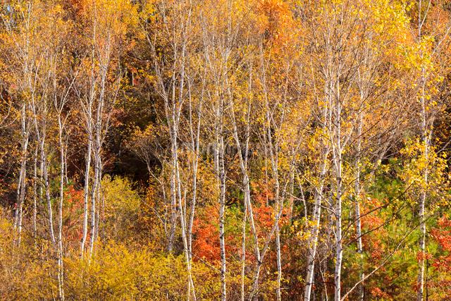 黄葉したシラカバの写真素材 [FYI01559003]