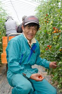 ミニトマトの収穫の写真素材 [FYI01559063]