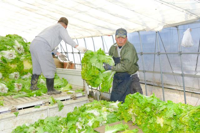 伝統野菜花芯山東菜の出荷準備の写真素材 [FYI01559104]