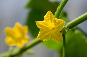 キュウリの花の写真素材 [FYI01559130]