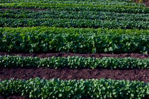 ミズナとタカナとホーレンソウの畑の写真素材 [FYI01559369]