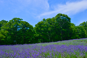 たんばらラベンダーパークに咲くラベンダーの写真素材 [FYI01559417]