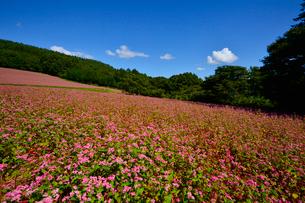 赤そば畑(タカネルビー)の写真素材 [FYI01559467]