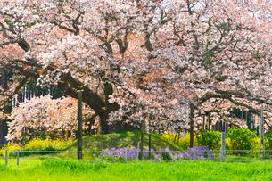 印西市指定天然記念物吉高の大ヤマザクラの写真素材 [FYI01559524]