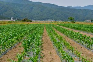 トウモロコシ畑の写真素材 [FYI01559623]