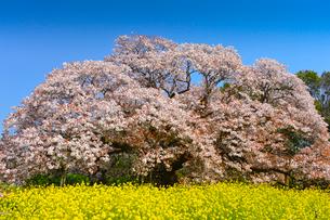 印西市指定天然記念物吉高の大ヤマザクラの写真素材 [FYI01559638]