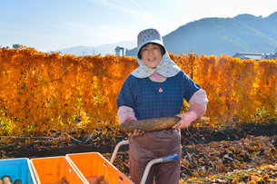 ナガイモの収穫の写真素材 [FYI01559660]