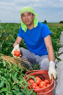 加工用トマトの収穫の写真素材 [FYI01559699]