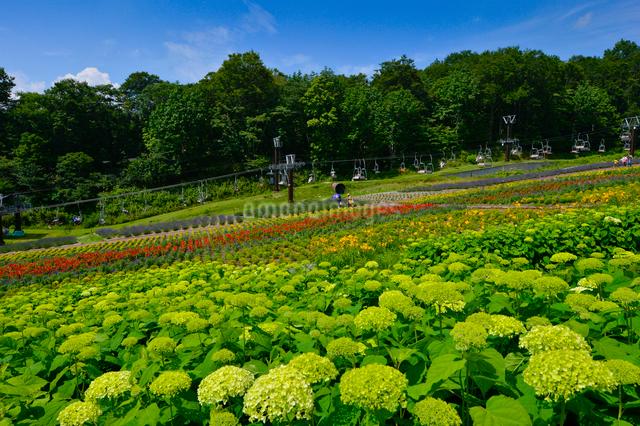 アナベル(ユキノシタ科)咲くたんばらラベンダーパークの写真素材 [FYI01559708]