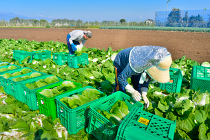 白菜の収穫の写真素材 [FYI01559710]