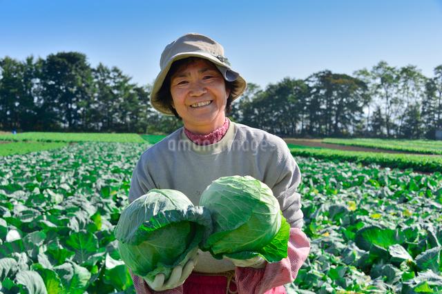 キャベツの収穫の写真素材 [FYI01559715]