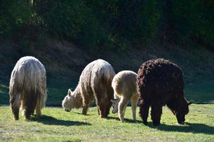 サクサイワマン城塞付近で草をはむアルパカの写真素材 [FYI01559747]