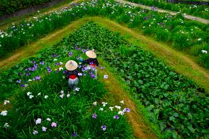 潮来あやめ祭り会場で花がらを摘むの写真素材 [FYI01559783]