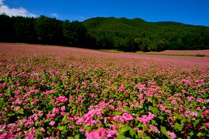赤そば畑(タカネルビー)の写真素材 [FYI01559797]