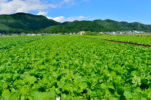 白菜畑の写真素材 [FYI01559831]