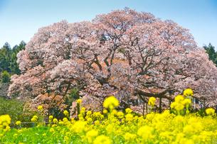印西市指定天然記念物吉高の大ヤマザクラの写真素材 [FYI01559834]