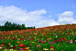 ヒャクニチソウ(キク科)咲く富士見高原花の里の写真素材 [FYI01559948]