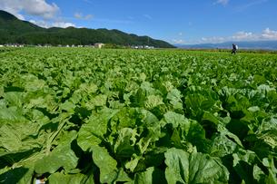 白菜畑の写真素材 [FYI01560074]