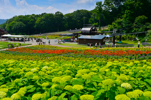 アナベル(ユキノシタ科)咲くたんばらラベンダーパークの写真素材 [FYI01560112]