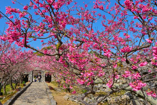 世界遺産今帰仁城跡に咲く寒緋桜の写真素材 [FYI01560128]