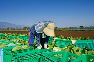 白菜の収穫の写真素材 [FYI01560144]