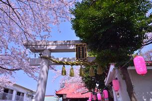 染井稲荷神社の鳥居とサクラの写真素材 [FYI01560215]