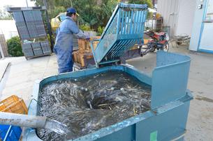 伝統野菜クワイを洗うの写真素材 [FYI01560262]