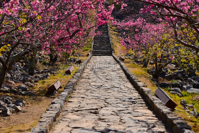 世界遺産今帰仁城跡に咲く寒緋桜の写真素材 [FYI01560319]