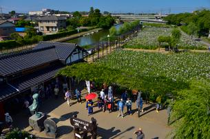 潮来祭りあやめ園の賑わいの写真素材 [FYI01560382]